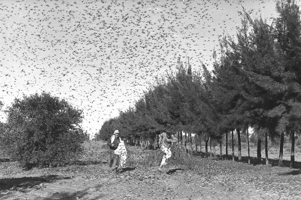 ארבה בקיבוץ סעד 1955